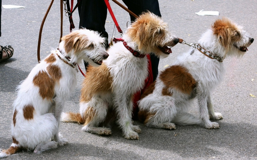 Dog Walker Wanted: Why Your Dog Is Barking For a Dog Walker